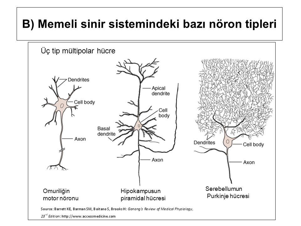 B) Memeli sinir sistemindeki bazı nöron tipleri