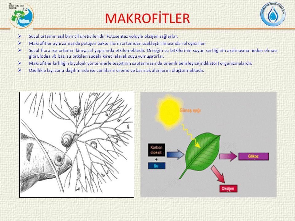 MAKROFİTLER Sucul ortamın asıl birincil üreticileridir. Fotosentez yoluyla oksijen sağlarlar.
