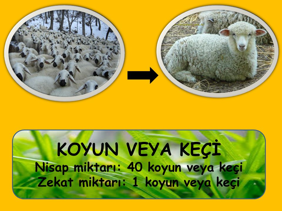 Nisap miktarı: 40 koyun veya keçi Zekat miktarı: 1 koyun veya keçi