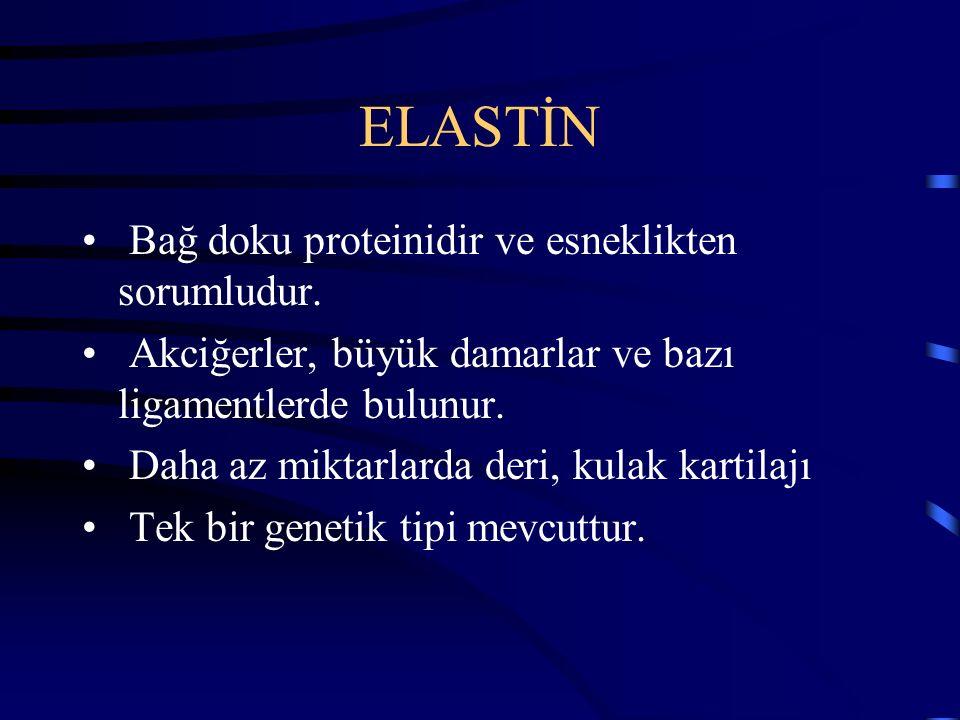 ELASTİN Bağ doku proteinidir ve esneklikten sorumludur.