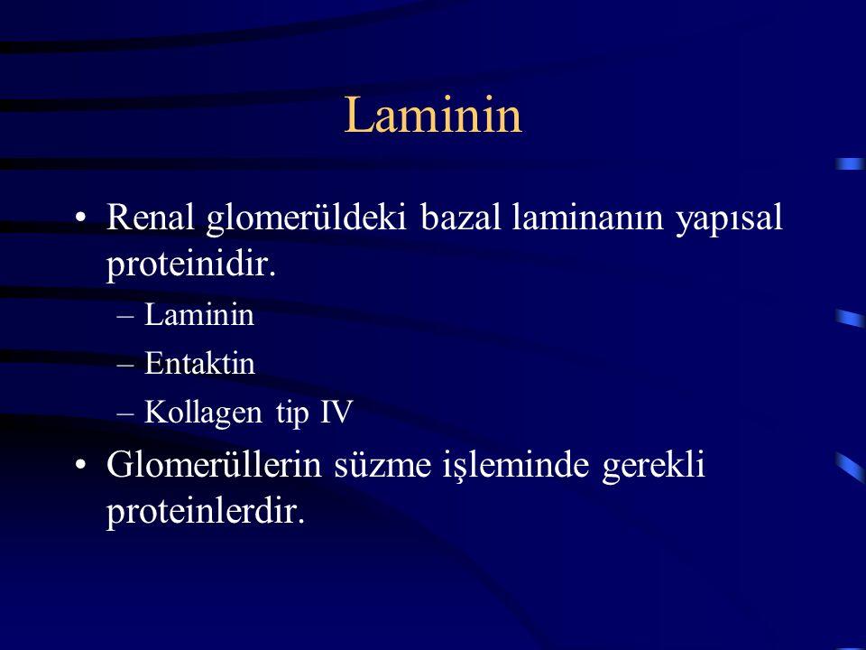 Laminin Renal glomerüldeki bazal laminanın yapısal proteinidir.