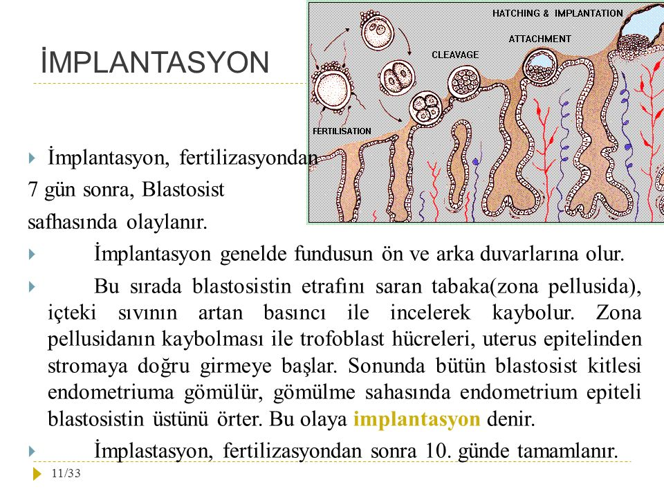 İMPLANTASYON İmplantasyon, fertilizasyondan 7 gün sonra, Blastosist