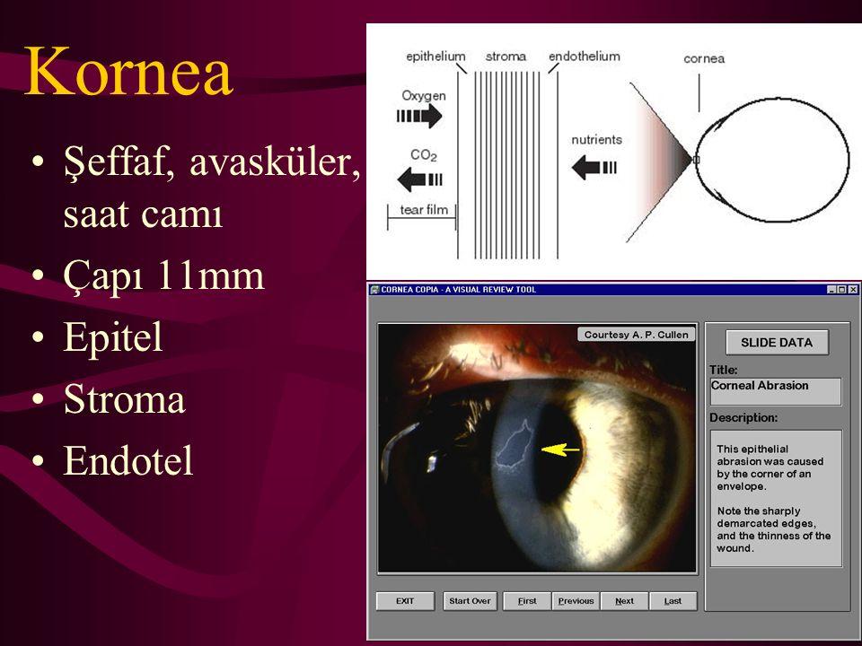 Kornea Şeffaf, avasküler, saat camı Çapı 11mm Epitel Stroma Endotel