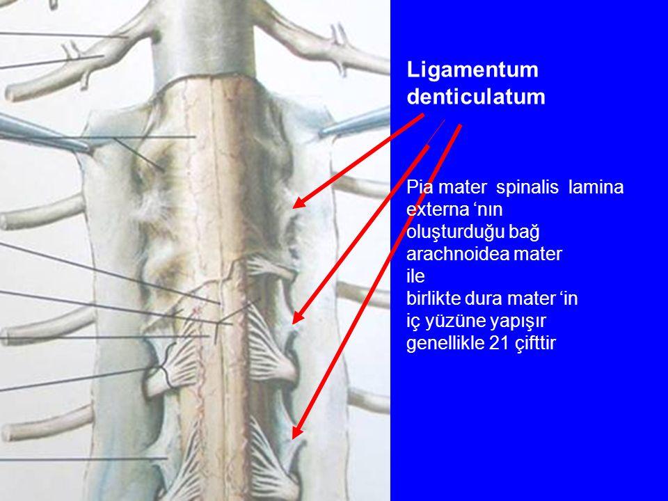 Ligamentum denticulatum