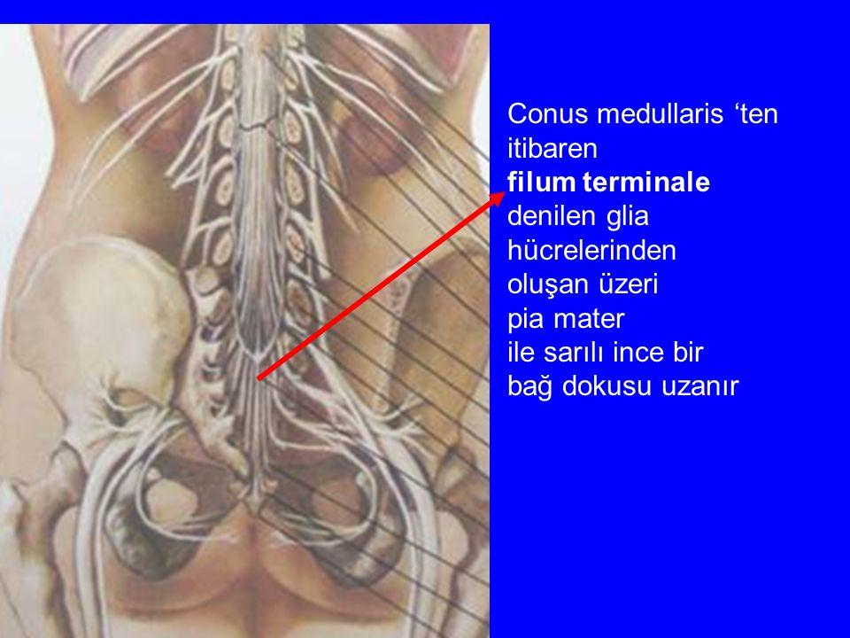 Conus medullaris 'ten itibaren. filum terminale. denilen glia. hücrelerinden. oluşan üzeri. pia mater.
