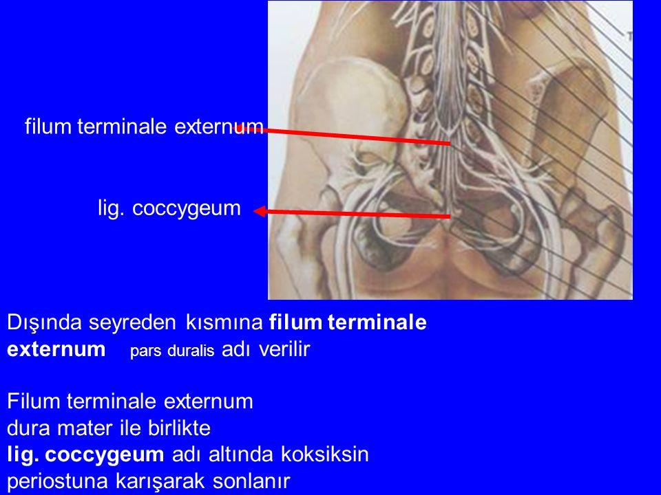filum terminale externum