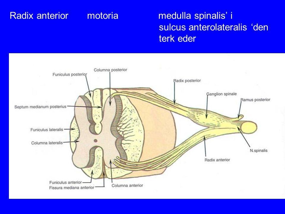 Radix anterior motoria medulla spinalis' i