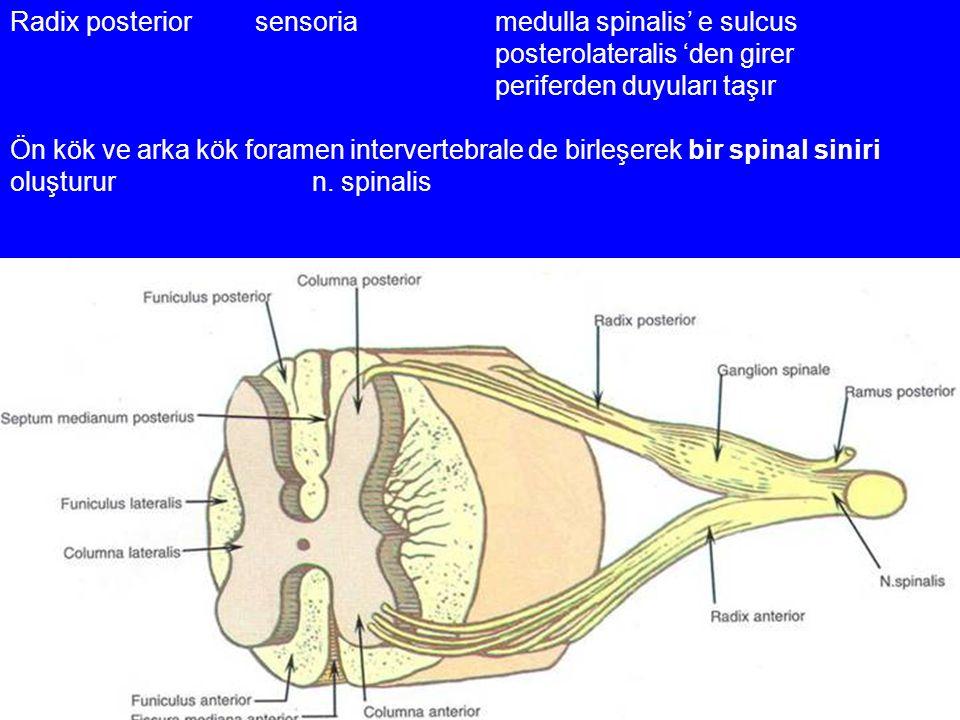 Radix posterior sensoria medulla spinalis' e sulcus