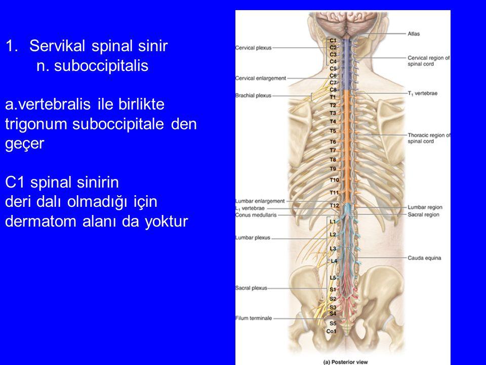 Servikal spinal sinir n. suboccipitalis. a.vertebralis ile birlikte. trigonum suboccipitale den. geçer.