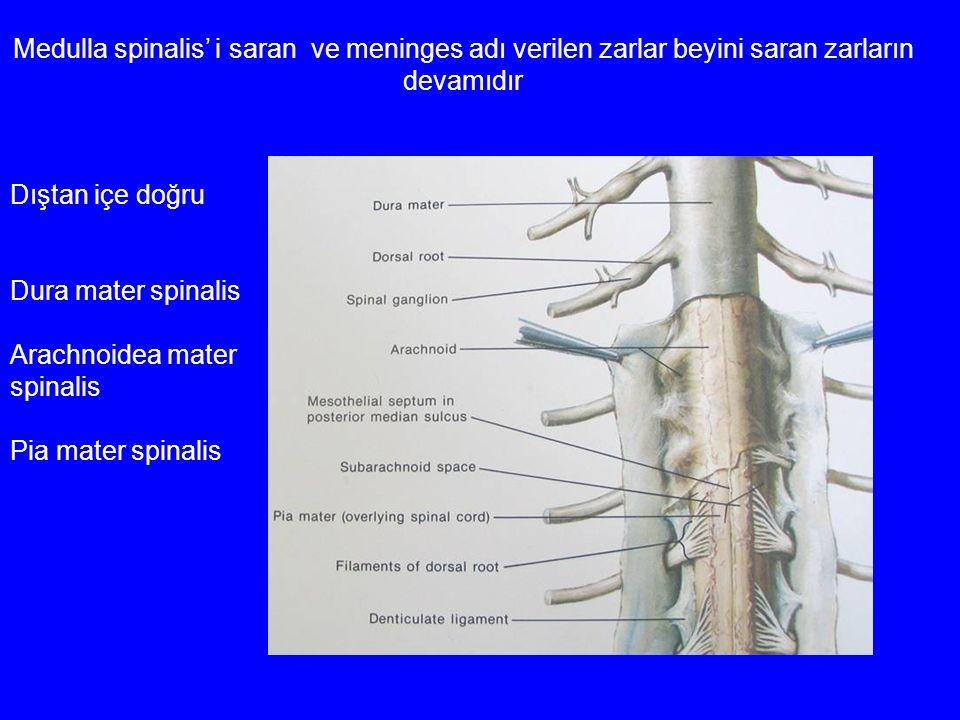 Medulla spinalis' i saran ve meninges adı verilen zarlar beyini saran zarların devamıdır