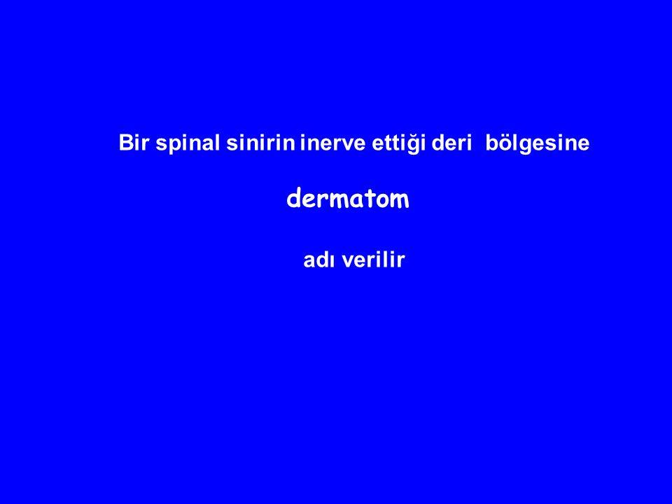 Bir spinal sinirin inerve ettiği deri bölgesine