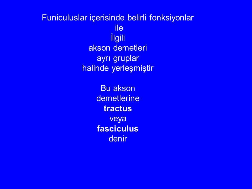 Funiculuslar içerisinde belirli fonksiyonlar