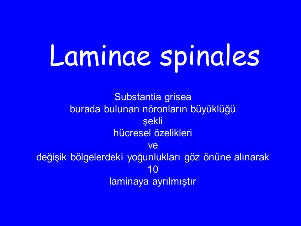 Laminae spinales Substantia grisea burada bulunan nöronların büyüklüğü