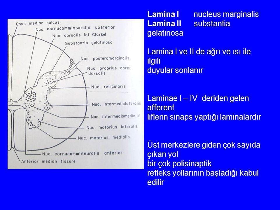 Lamina I nucleus marginalis