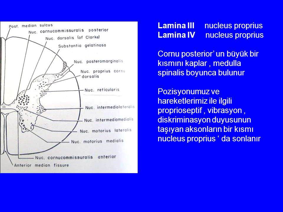 Lamina III nucleus proprius