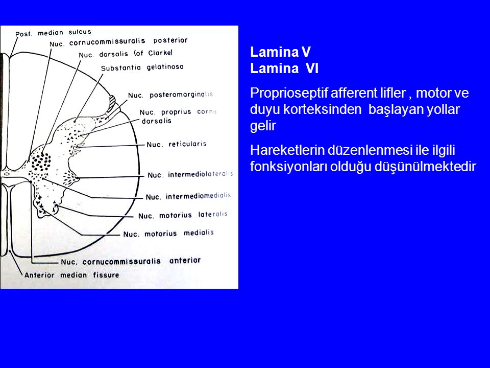 Lamina V Lamina VI. Proprioseptif afferent lifler , motor ve duyu korteksinden başlayan yollar gelir.