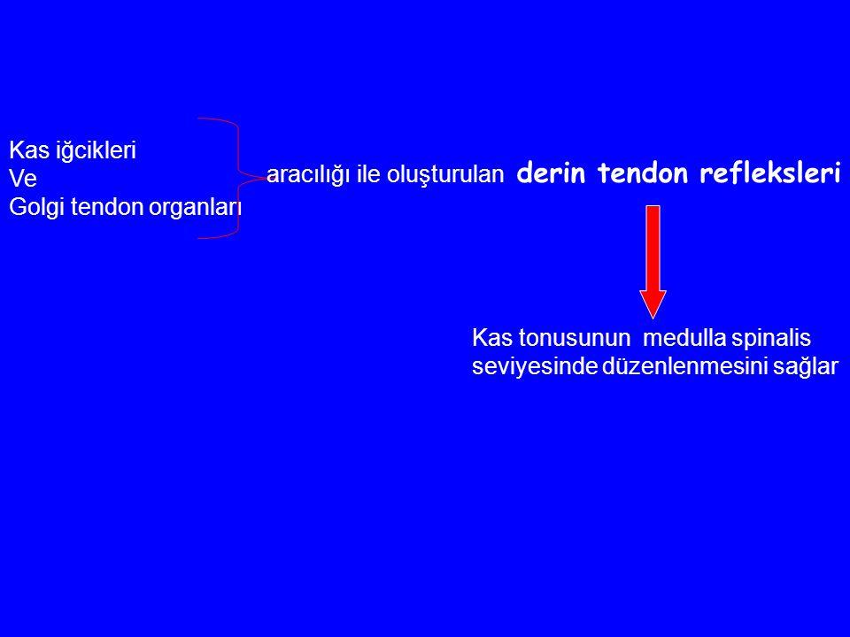 Kas iğcikleri Ve. Golgi tendon organları. aracılığı ile oluşturulan derin tendon refleksleri. Kas tonusunun medulla spinalis.