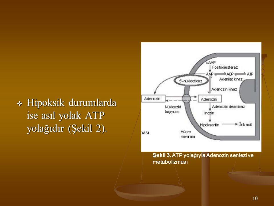 Hipoksik durumlarda ise asıl yolak ATP yolağıdır (Şekil 2).