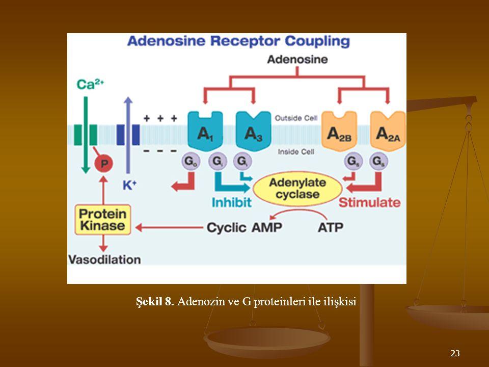 Şekil 8. Adenozin ve G proteinleri ile ilişkisi