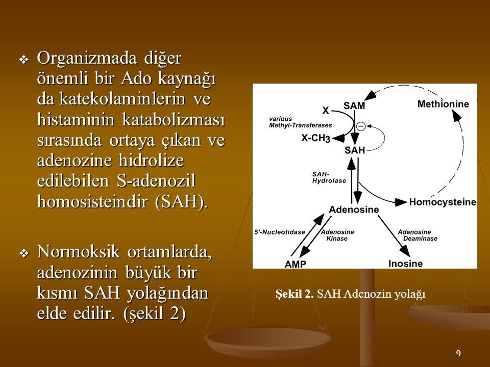 Şekil 2. SAH Adenozin yolağı