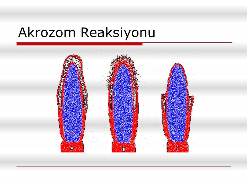 Akrozom Reaksiyonu