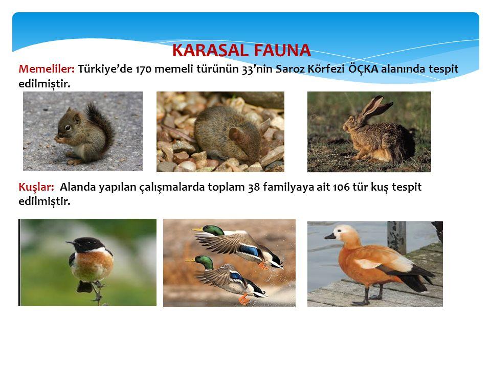 KARASAL FAUNA Memeliler: Türkiye'de 170 memeli türünün 33'nin Saroz Körfezi ÖÇKA alanında tespit edilmiştir.