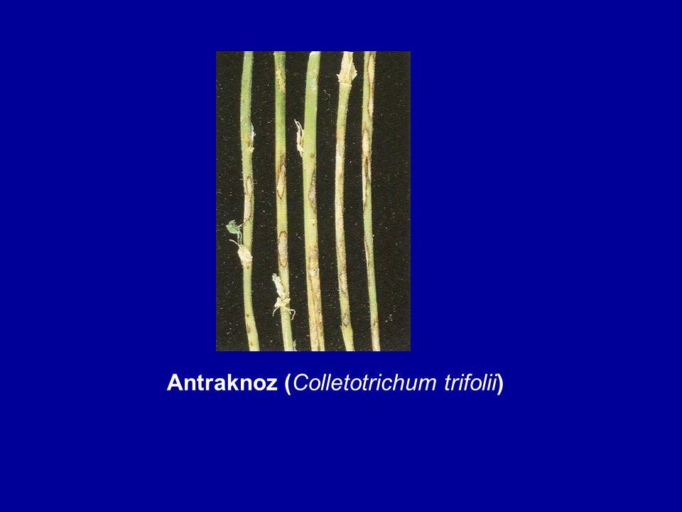 Antraknoz (Colletotrichum trifolii)