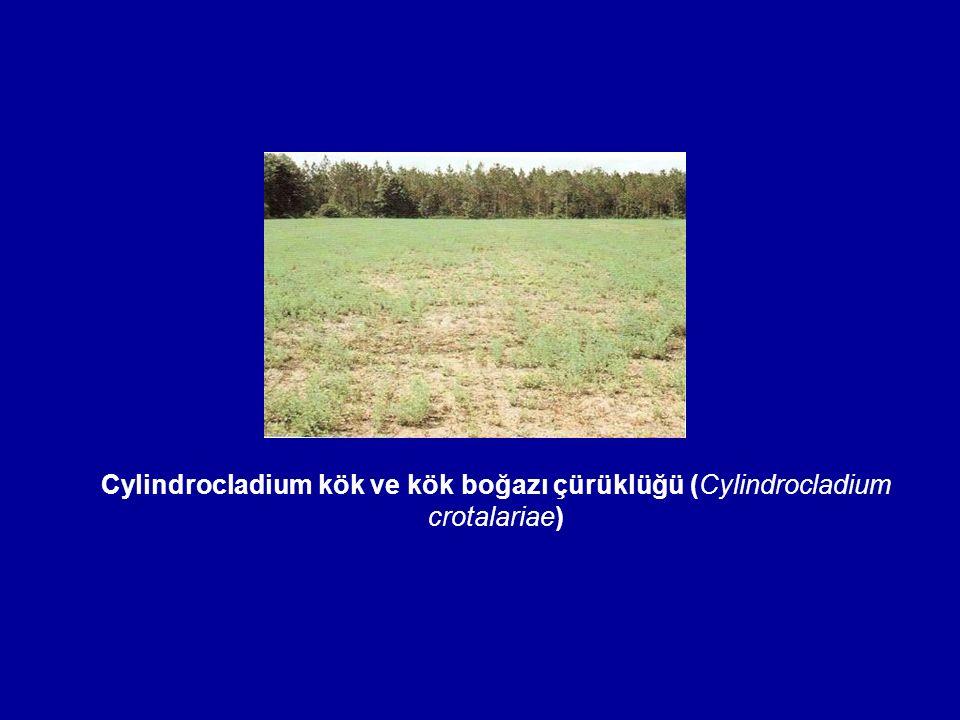 Cylindrocladium kök ve kök boğazı çürüklüğü (Cylindrocladium crotalariae)