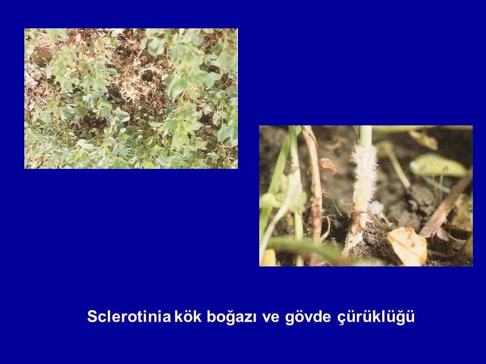 Sclerotinia kök boğazı ve gövde çürüklüğü