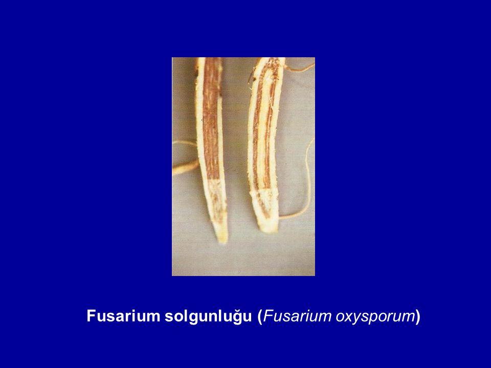 Fusarium solgunluğu (Fusarium oxysporum)