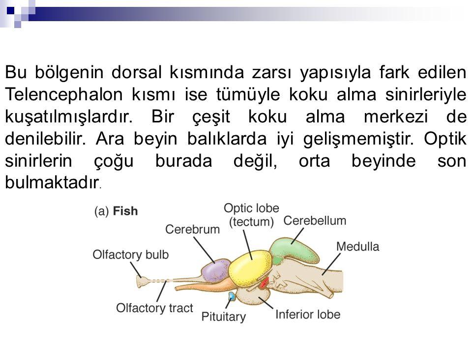 Bu bölgenin dorsal kısmında zarsı yapısıyla fark edilen Telencephalon kısmı ise tümüyle koku alma sinirleriyle kuşatılmışlardır.