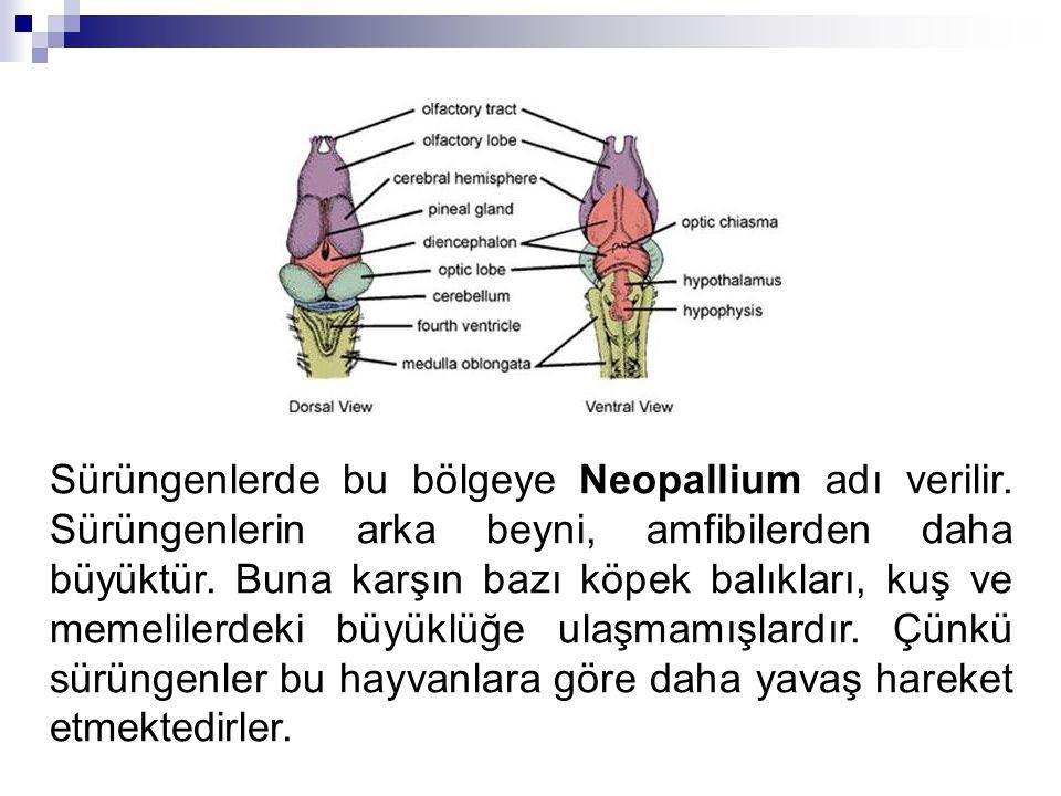 Sürüngenlerde bu bölgeye Neopallium adı verilir