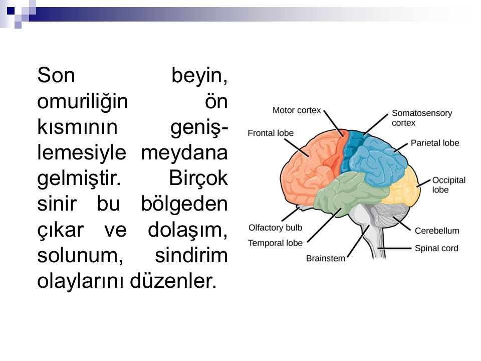 Son beyin, omuriliğin ön kısmının geniş-lemesiyle meydana gelmiştir