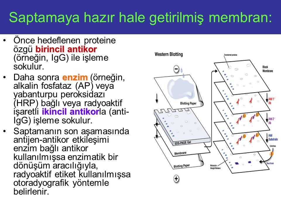 Saptamaya hazır hale getirilmiş membran:
