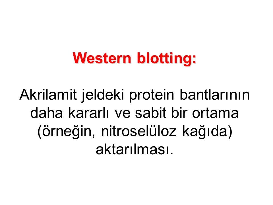 Western blotting: Akrilamit jeldeki protein bantlarının daha kararlı ve sabit bir ortama (örneğin, nitroselüloz kağıda) aktarılması.