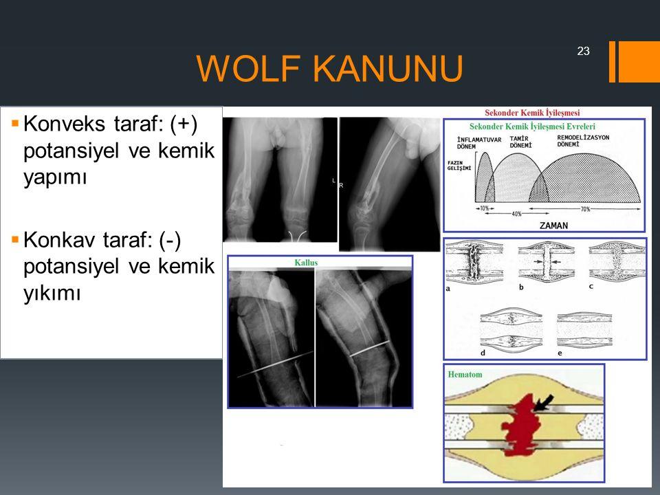 WOLF KANUNU Konveks taraf: (+) potansiyel ve kemik yapımı