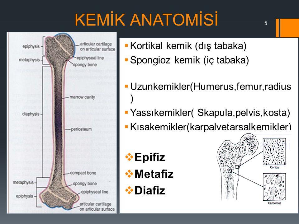 KEMİK ANATOMİSİ Epifiz Metafiz Diafiz Kortikal kemik (dış tabaka)