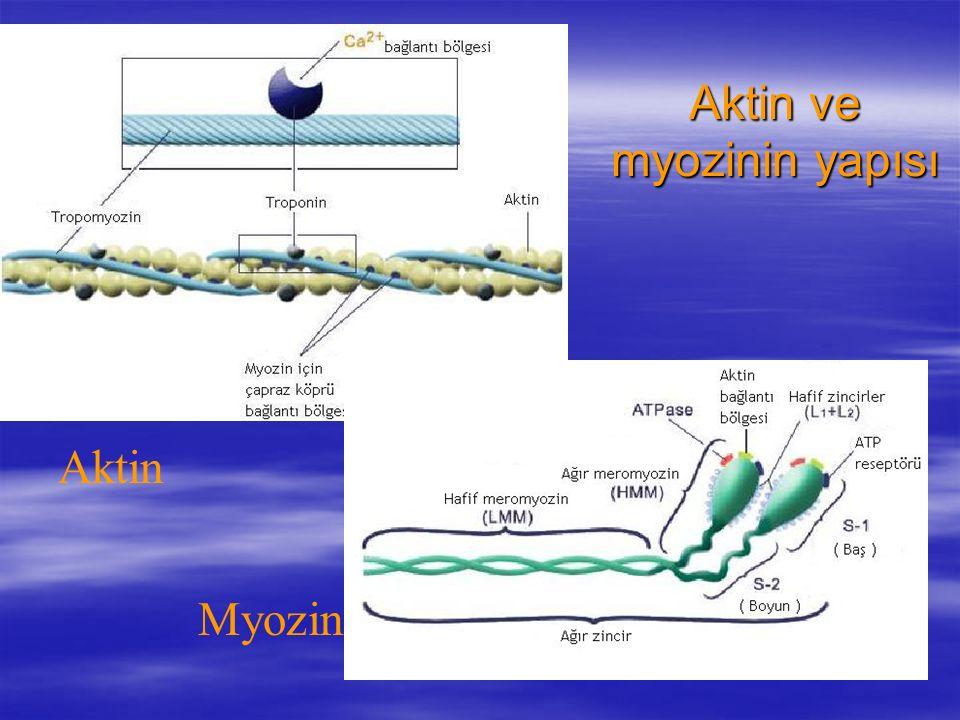 Aktin ve myozinin yapısı
