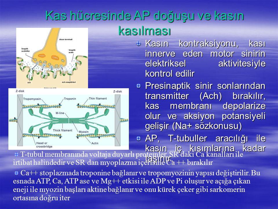 Kas hücresinde AP doğuşu ve kasın kasılması