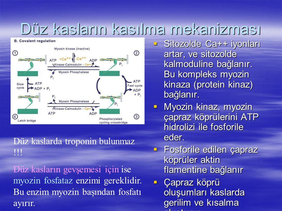 Düz kasların kasılma mekanizması