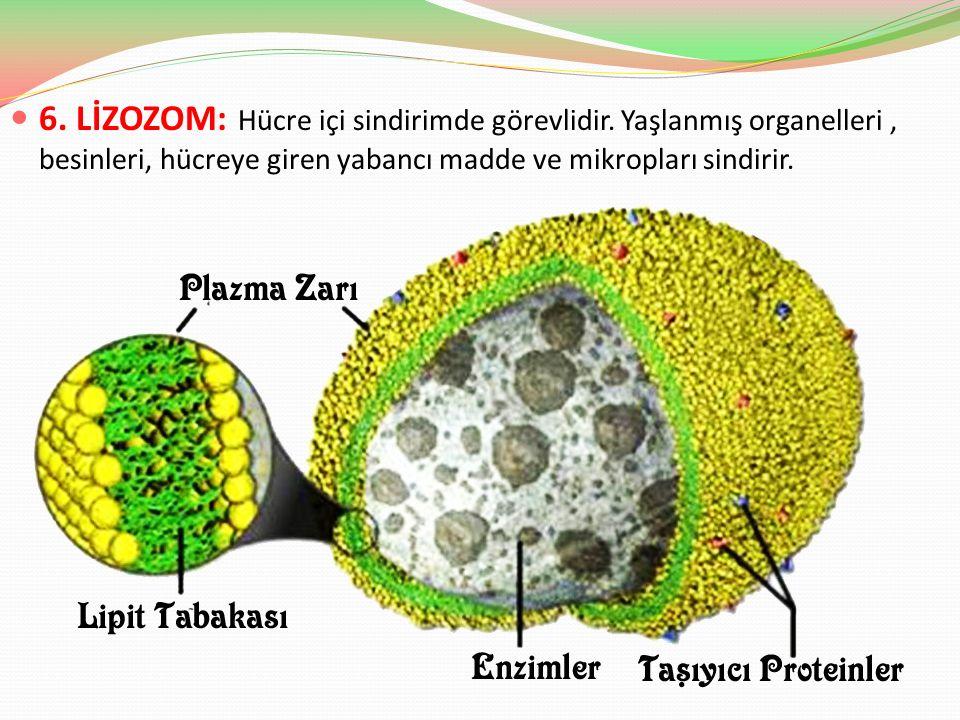 6. LİZOZOM: Hücre içi sindirimde görevlidir