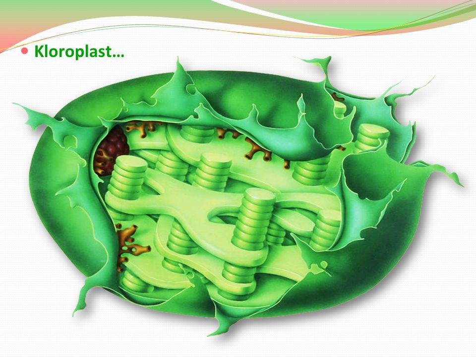 Kloroplast…