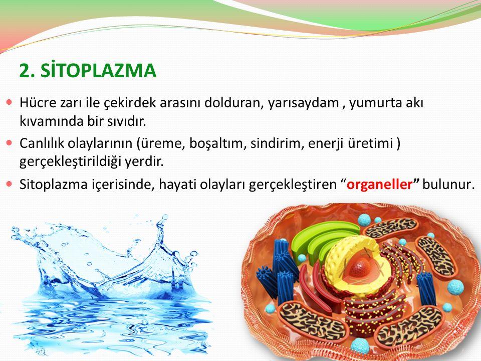 2. SİTOPLAZMA Hücre zarı ile çekirdek arasını dolduran, yarısaydam , yumurta akı kıvamında bir sıvıdır.