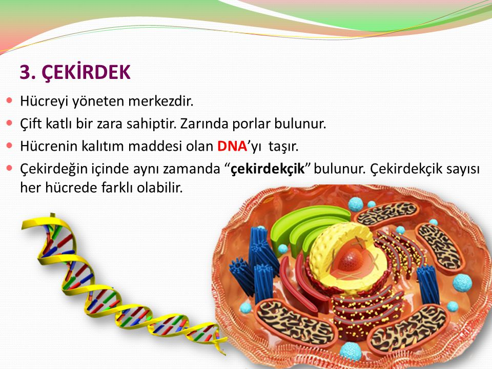 3. ÇEKİRDEK Hücreyi yöneten merkezdir.