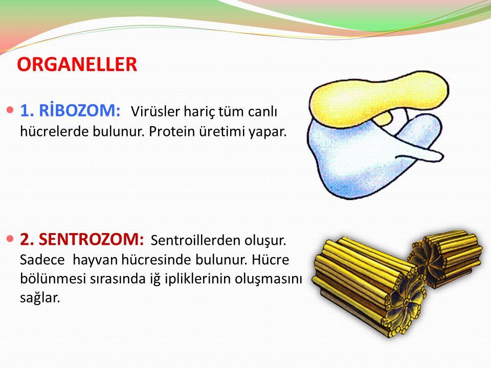 ORGANELLER 1. RİBOZOM: Virüsler hariç tüm canlı hücrelerde bulunur. Protein üretimi yapar.