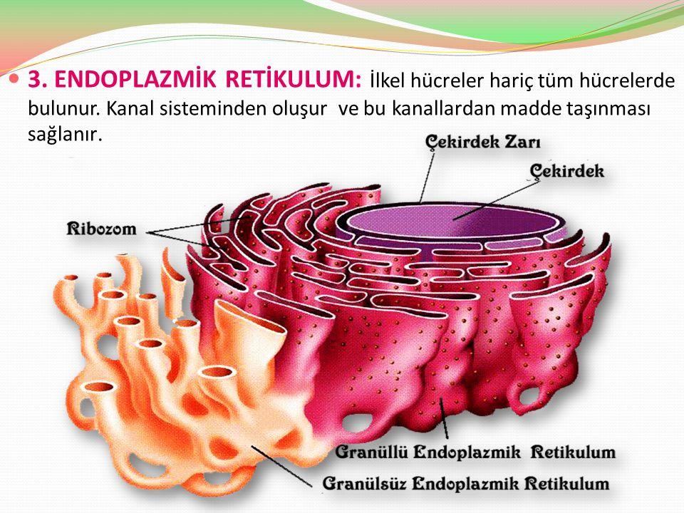 3. ENDOPLAZMİK RETİKULUM: İlkel hücreler hariç tüm hücrelerde bulunur