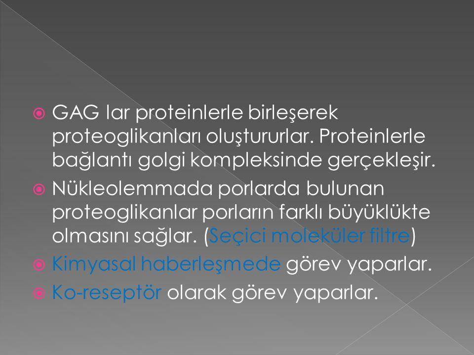 GAG lar proteinlerle birleşerek proteoglikanları oluştururlar