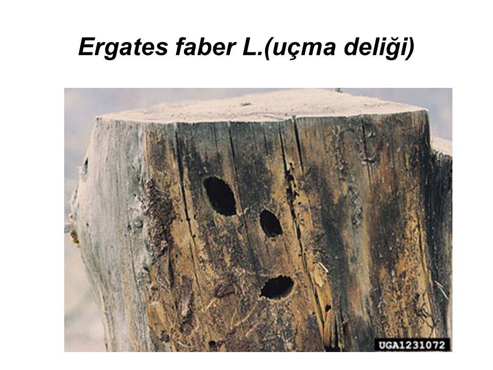 Ergates faber L.(uçma deliği)