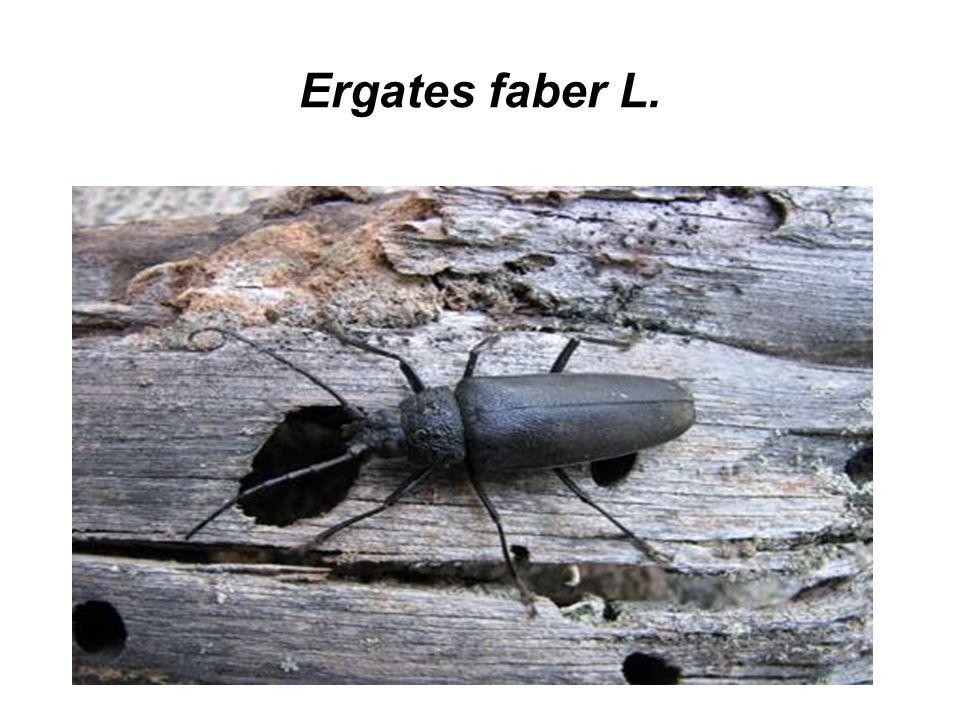 Ergates faber L.