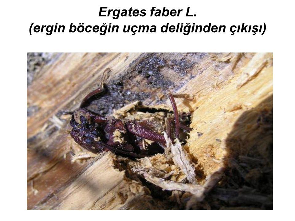 Ergates faber L. (ergin böceğin uçma deliğinden çıkışı)